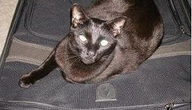 A black cat crouches and sits inside a suitcase