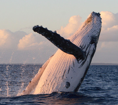 Humpback Whale Breaching in Hawaiian Waters