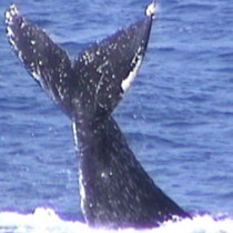whale1lrg_143
