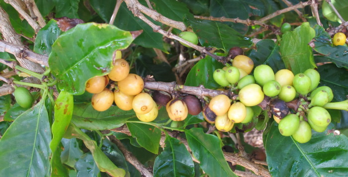 A close-up shot of coffee beans growing