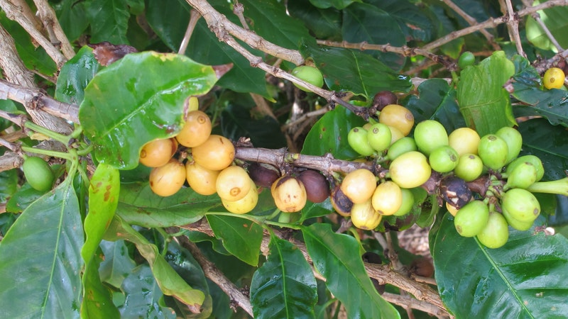 Hawaii's Islands Have Uncommon Coffee in Common