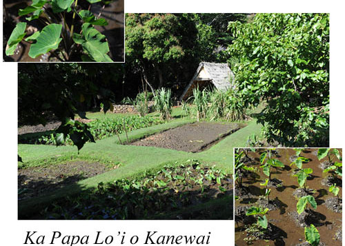 The taro fields at Loi Kanewai