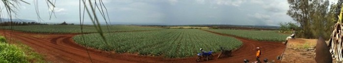 A panoramic image of a pineapple field