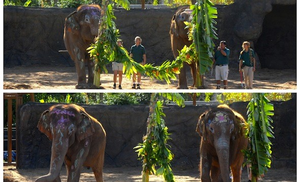 The elephant at Honolulu Zoo