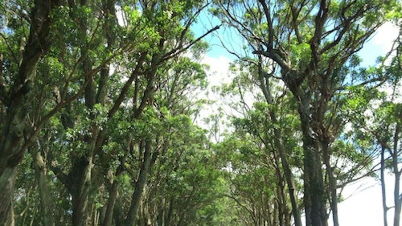 Drive-Thru Kauai Tree Tunnel