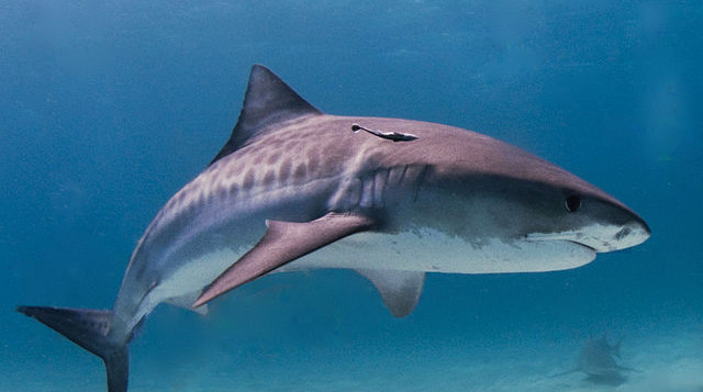 A tiger shark close up