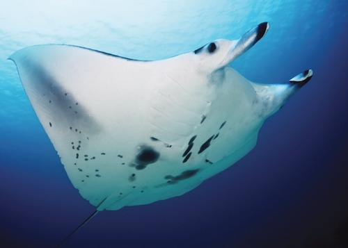 Close shot of a Manta Ray from below