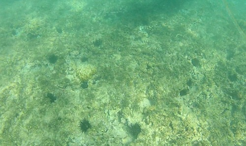 Several sea urchins on the ocean floor