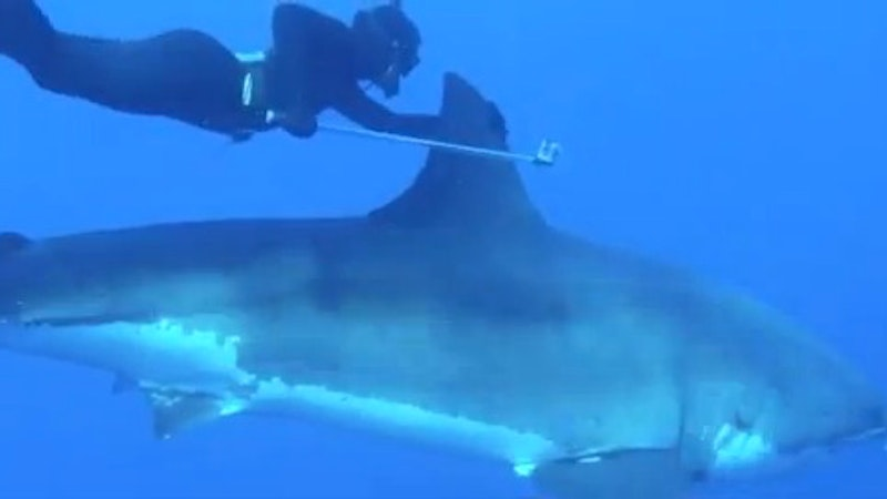 Swimming With A Great White Shark