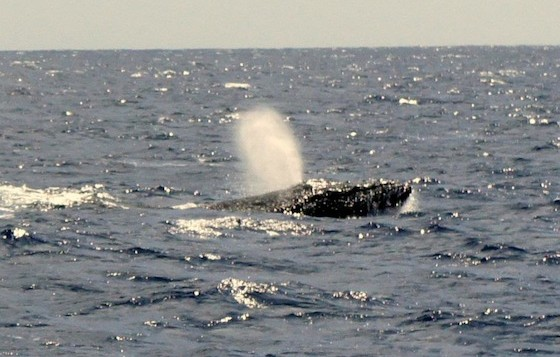 A Humpback Whale breaching in Hawaiian waters
