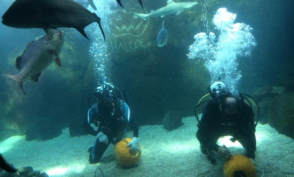 Divers carving pumpkins underwater at Waikiki Aquarium