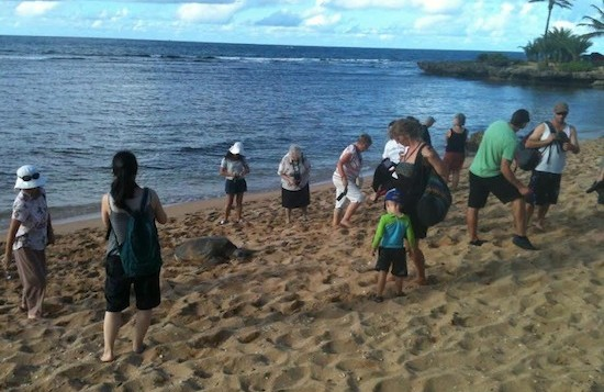 Tourists getting close to turtles beached in Haleiwa