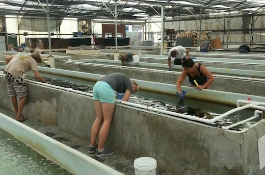 Hawaii hatchery for sea urchins