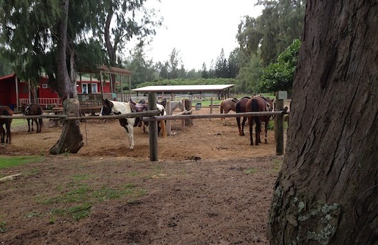 Horses at stables on Turtle Bay property on Oahu's north shore