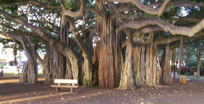 Banyan Tree in Lahaina Town