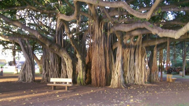 The History Of Banyan Tree In Hawaii