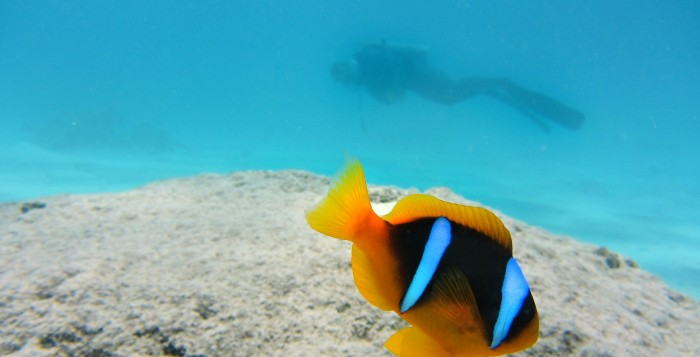 Clown fish under water with diver