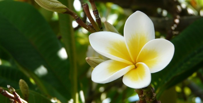 Plumaria flower blooming in tree