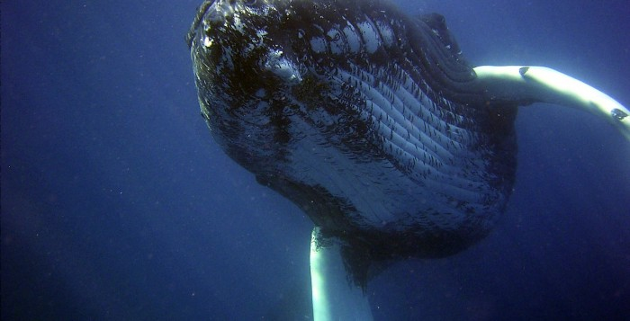Humpback Whale under the sea spouting water