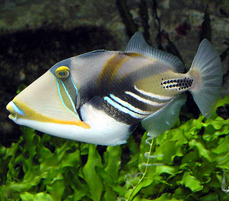 Humu swimming under water
