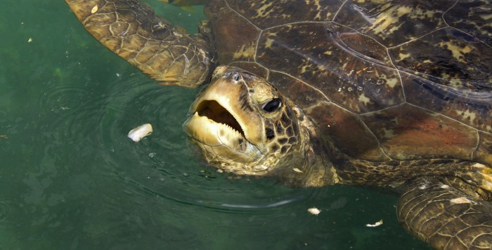 Green Sea Turtle sticking head above the water