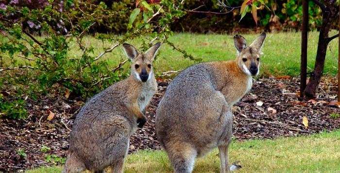 A pair of Wallabies