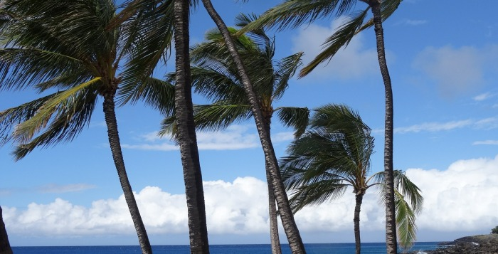 Several palm trees in the wind