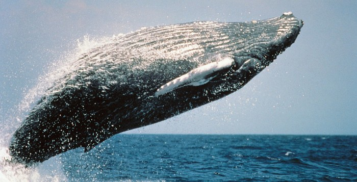 A humpbacks whale crowning
