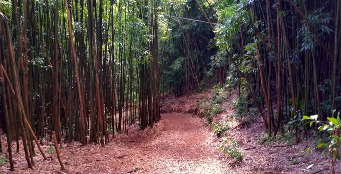 A bamboo lined trail in manoa