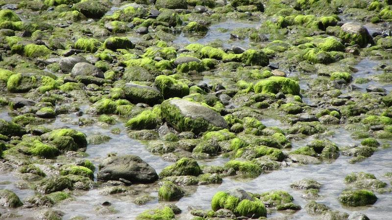 Maunalua Bay Seaweed Cleanup Making Progress