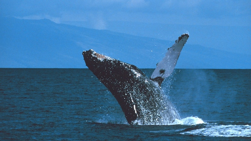 The Humpback Whale Count Is In, and The News Is Good