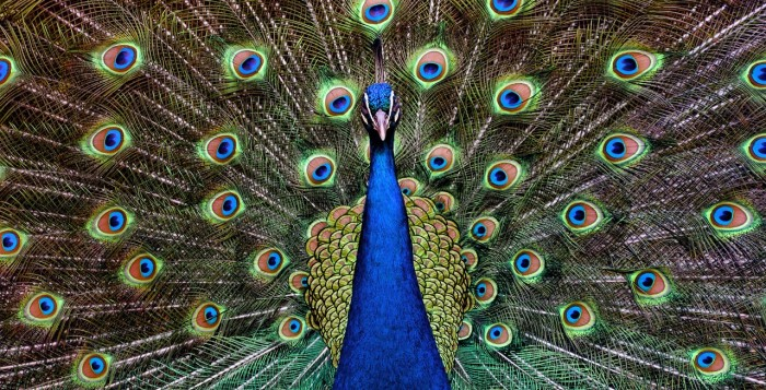 A peacock looking straight at you