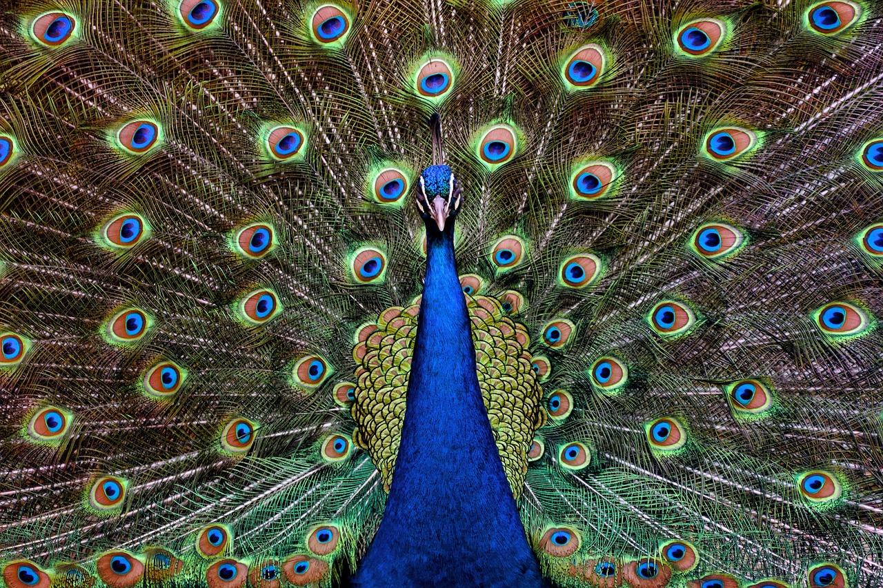 Peacocks In Hawaii
