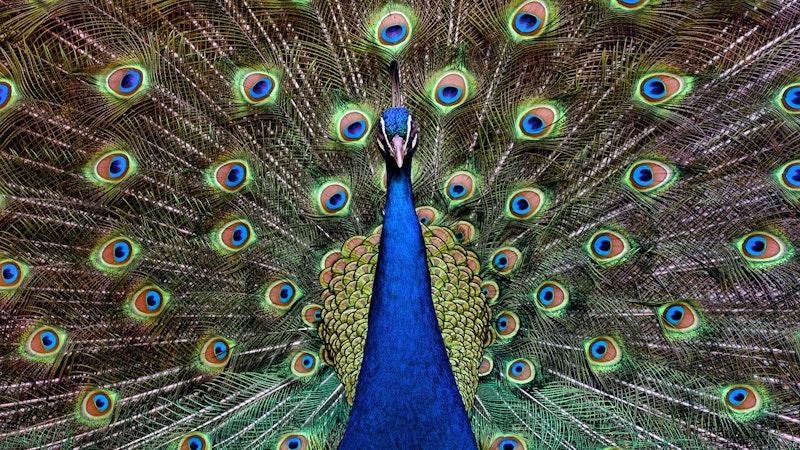Peacocks in Hawaii?