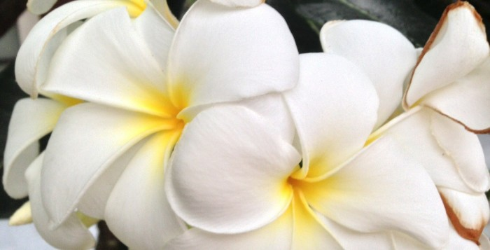 Close shot of Plumeria