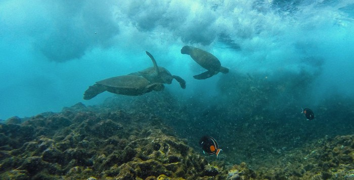 3 Honu at Cockroach Cove
