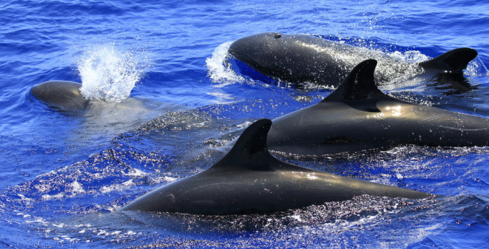 False killer whales together in the Hawaiian waters.