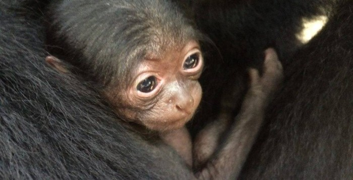 One of two baby animals at the Honolulu Zoo, a baby Siamang Gibbon clings to its mom.
