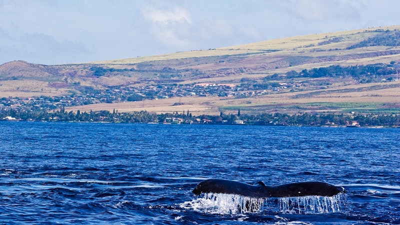 Sound the Trumpets! Whales Arrive in Hawaii