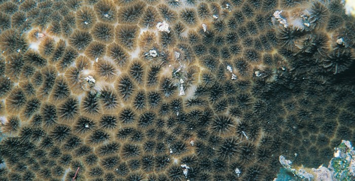 leptastrea purpurea in the ocean