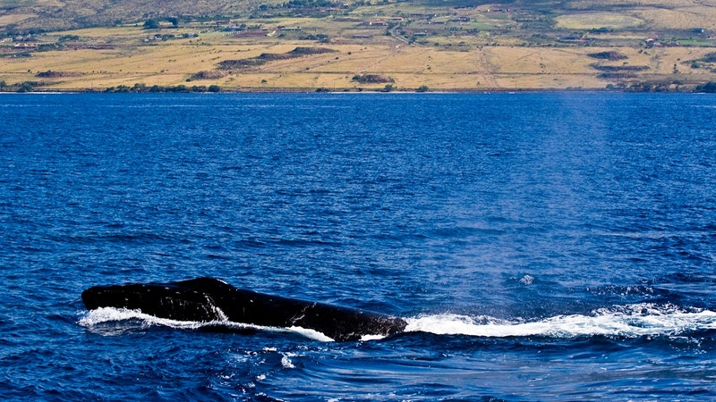 Hawaii Whale Season Coming Soon! Know Your Facts