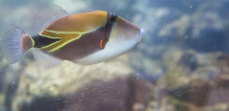a humuhumunukunukuapuaa fish