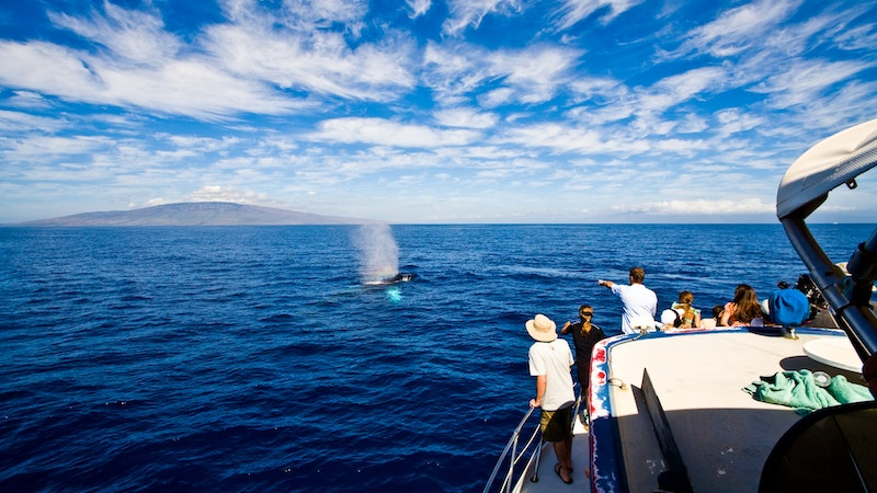 Where Are All the Whales in Hawaii?