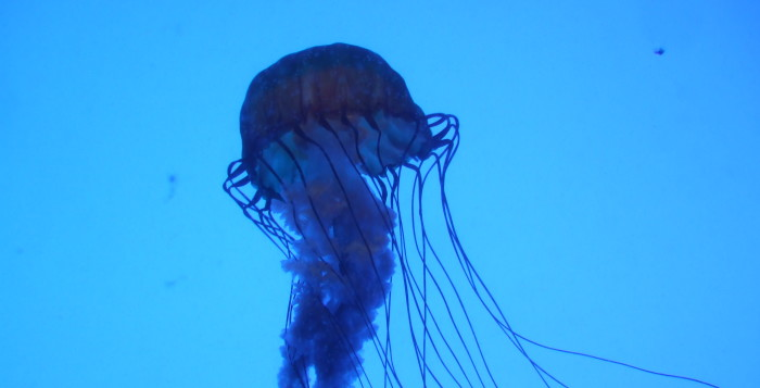 a box jellyfish underwater