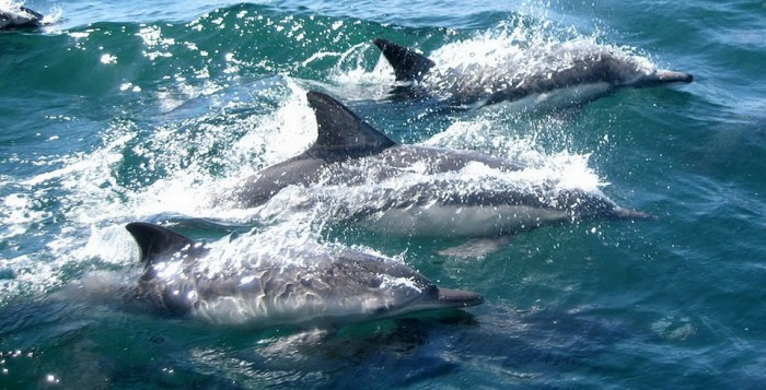three dolphins playing in the ocean