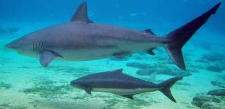a shark and baby shark