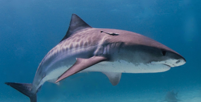 a tiger shark underwater