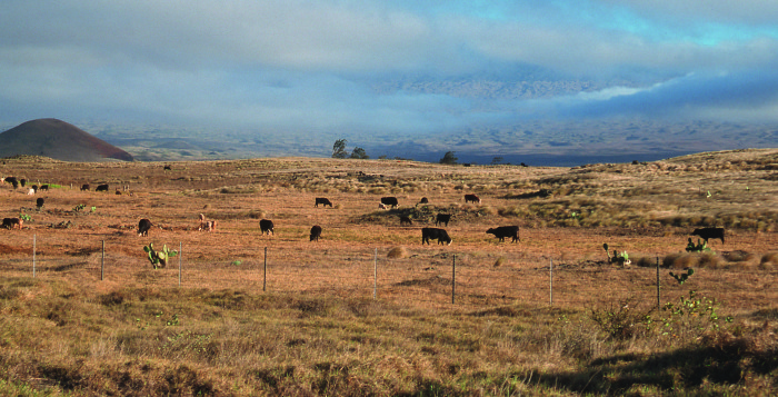 cows in a field in hawaii