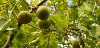 kukui nuts on a branch