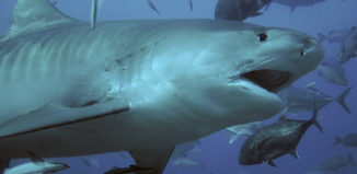 a tiger shark swimming with other fish surrounding it